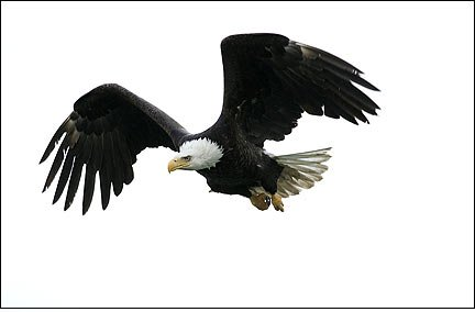 Photo of a Bald Eagle in flight with feathers spread by Andy Long.