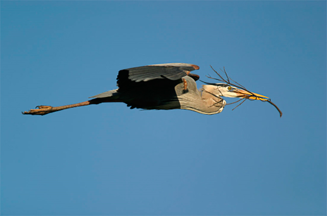 Image of a Great Blue Heron in flight carrying sticks to the next by Andy Long.