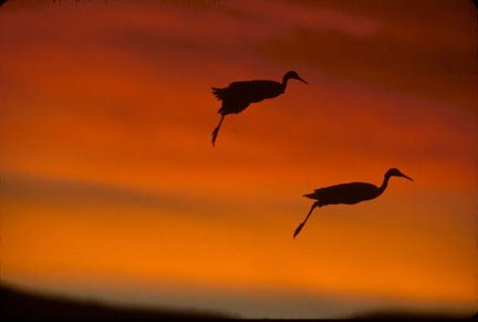 Photo of two Sandhill Cranes in silhouette against a red and orange sunset by Andy Long.