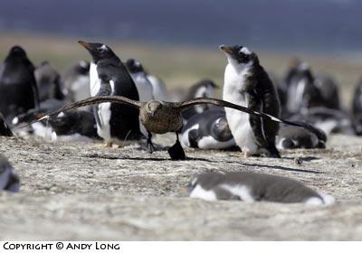 skua and penguin predator prey relationship