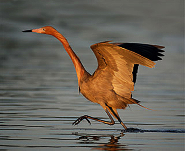 Reddish Egret dancing on the water by Andy Long.