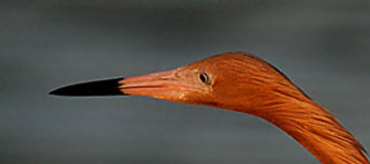 Close-up image of the head of a Reddish Egret Photo by Andy Long.
