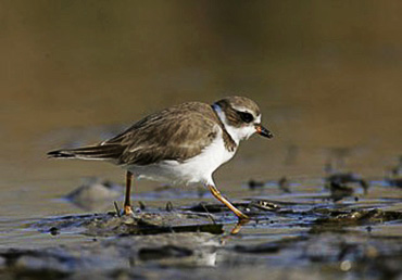 Photo of a Plover walking on the shore by Andy Long.