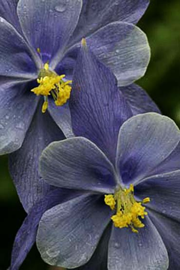 Close-up photo of a rare Columbine by Andy Long.