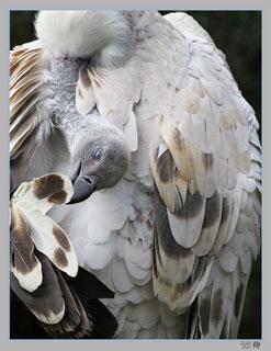 Photo of Cape Griffon Vulture