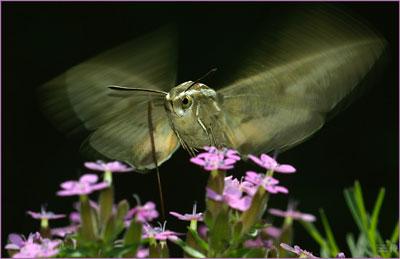 Photo of Hummingbird Moth
