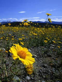 Death Valley Utah field of flowers photo
