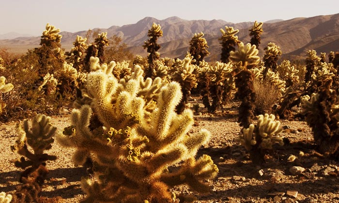 Photo of Cholla Cactus Garden in Joshua Tree National Park by Robert Hitchman