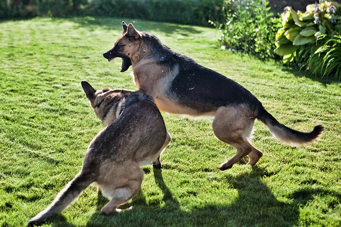 Stop action photography: German Shepherd dogs playing by Brad Sharp.