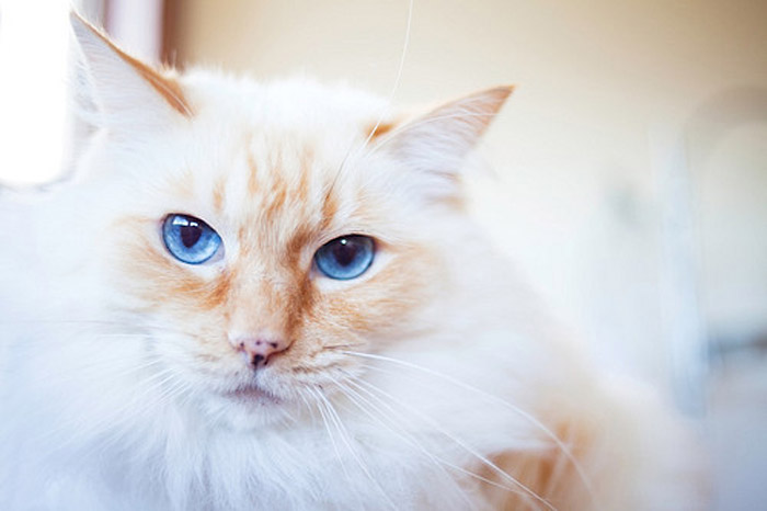Close-up photo of long-haired, blue-eye cat. Cat adopted from DCH Animal Adoptions in Sydney, Australia by Cathy Topping