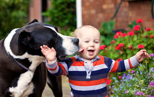 Close-up photo of big dog licking babies face. Dog adopted from DCH Animal Adoptions in Sydney, Australia by Cathy Topping