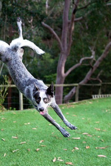 Action photo of dog jumping into photo frame. Dog adopted from DCH Animal Adoptions in Sydney, Australia by Cathy Topping