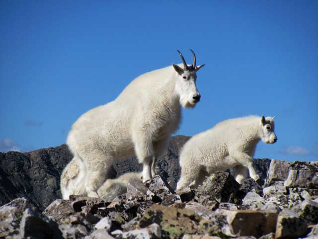 Photo adventures day hike: Mountain Goats, Rocky Mountain National Park by Jeff Doran.