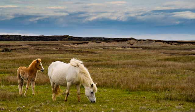 Photographic Travels in Iceland: Image of Icelandic horse and her colt in grassy meadow by Michael Legerro.