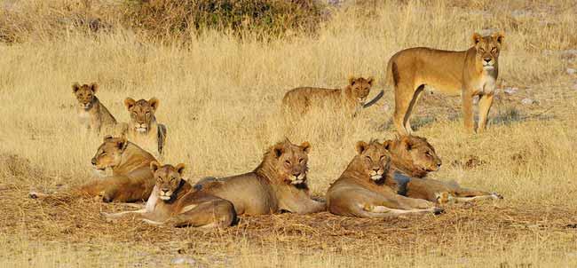 Photographing Lions: Lion pride near Homob Waterhole at Etosha, Africa by Mario Fazekas.