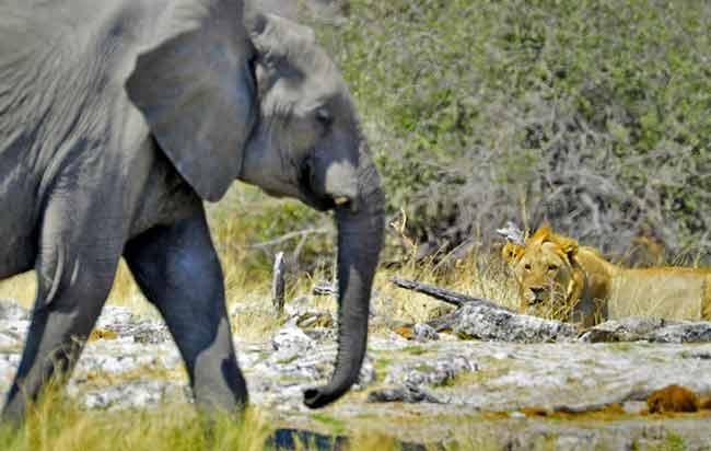 Photographing Lions: Male lion waiting in ambush at Goas Waterhole, Etosha, Africa by Mario Fazekas.