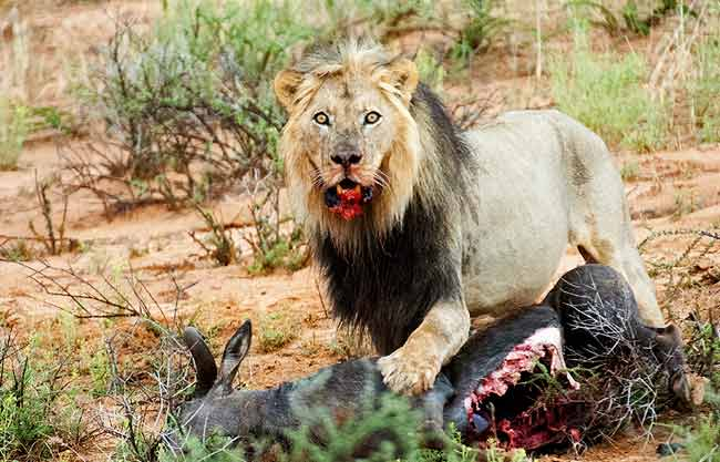 Photographing Lions: Male lion with wildebeest kill at Kgalagadi, Africa by Mario Fazekas.