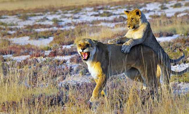 Photographing Lions: Lion cub jumping on lioness near Salvadora Waterhole, Etosha, Africa by Mario Fazekas.