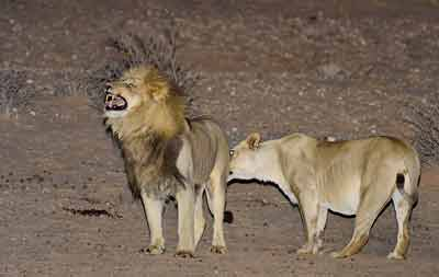 Photographing Lions: Male and female lion interaction at Urikaruus Wilderness Camp, Kgalagadi, Africa by Mario Fazekas.
