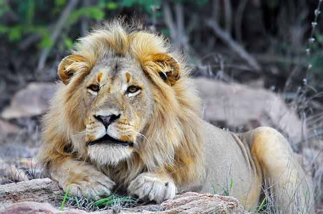 Photographing Lions: Male Lion Relaxing near Mopani Camp, Kruger Park, Africa by Mario