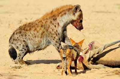 Spotted Hyena and Black-backed Jackal on Eland Carcass at Kij Kij Waterhole, Kgalaqadi, Africa by Mario Fazekas.