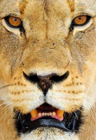 Photographing Lions: Lioness portrait near Nossob Camp, Kgalagadi, Africa by Mario Fazekas.
