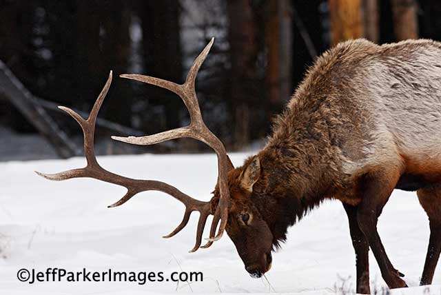 Deer & Elk Photography Tips: Bull Elk foraging for food in winter snow by Jeff Parker.