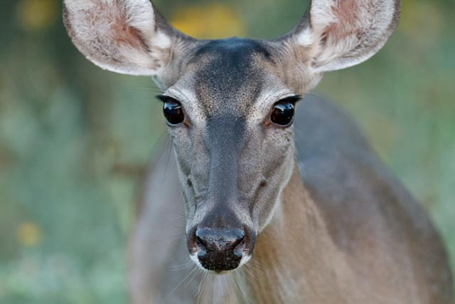 Deer & Elk Photography Tips: Close-up portrait showing big, beautiful brown eyes of While-tailed Deer by Jeff Parker.