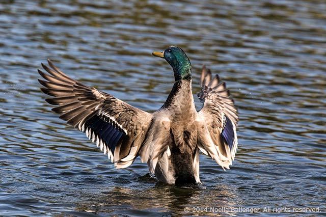 Mallard in flight – Stop Action