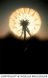 Backlighting behind a dandelion at Lake Tahoe by Noella Ballenger.