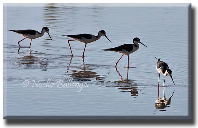 Reflection photo of four Black-necked Stilts walking in a flooded field by Noella Ballenger.