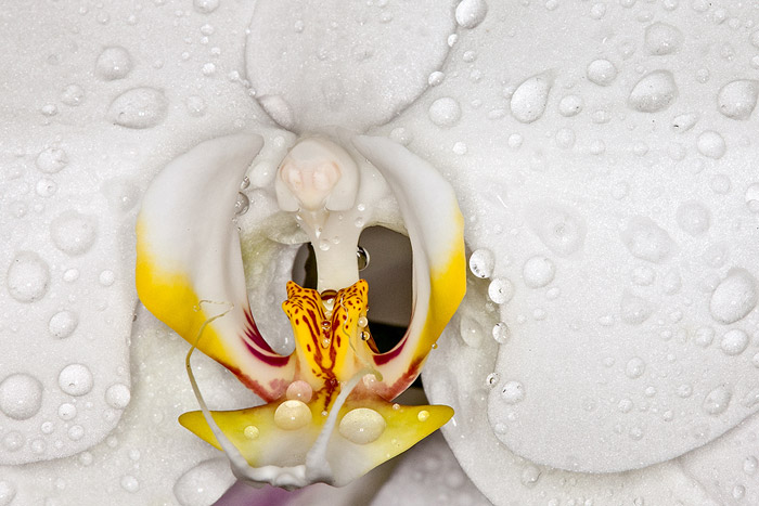 flower photography - Macro photo of orchid flower