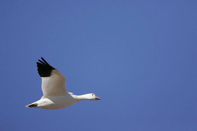 Snow Goose in mid-air flight with blue sky background - high shutter speed, open aperture and panning used by Andy Long.