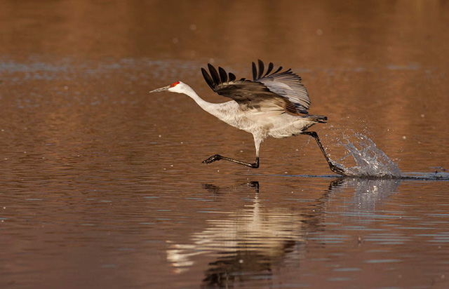 Sandhill Crane taking off from water - stop action with high shutter speed, open aperture and panning used by Andy Long.