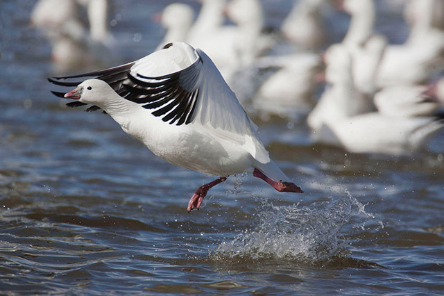 Snow Goose taking off from water - high shutter speed, open aperture and panning used by Andy Long.
