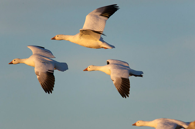 Snow Geese flying in the sky by Andy Long.