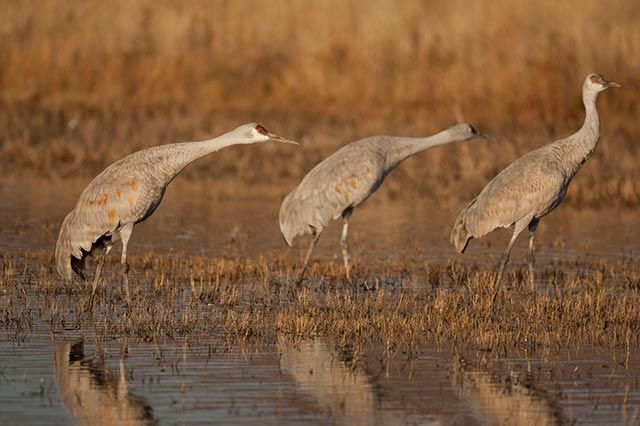 Three Sandhill Cranes lean forward in preparation for taking flight by Andy Long.