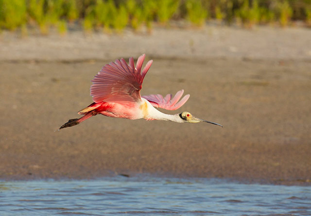 Image of Roseate Spoonbill in flight taken by panning camera technique by Andy Long.