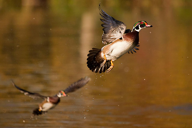 A Wood Duck as it takes flight from off the water by Andy Long.