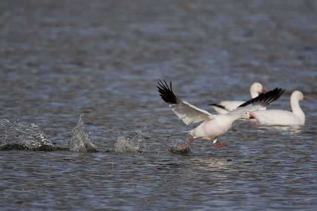 Snow Goose running on the water in preparation for flight by Andy Long.