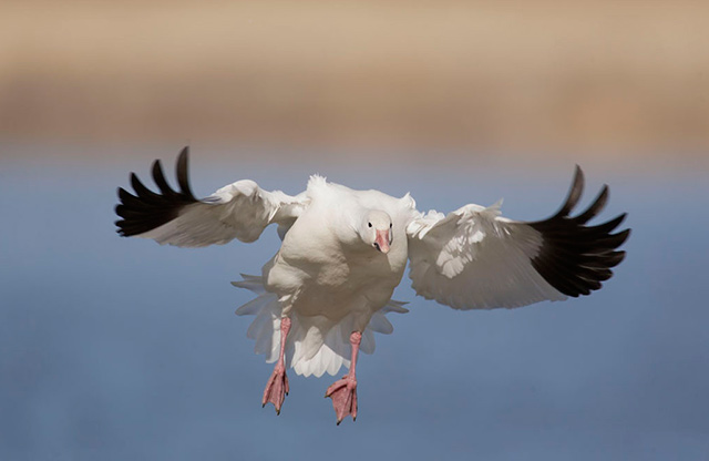 Snow Goose with wings out as it comes in to land on the water by Andy Long.