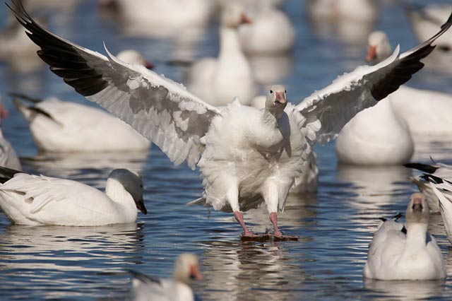 Snow Goose with wings out as it lands on the water in between other Snow Geese by Andy Long.