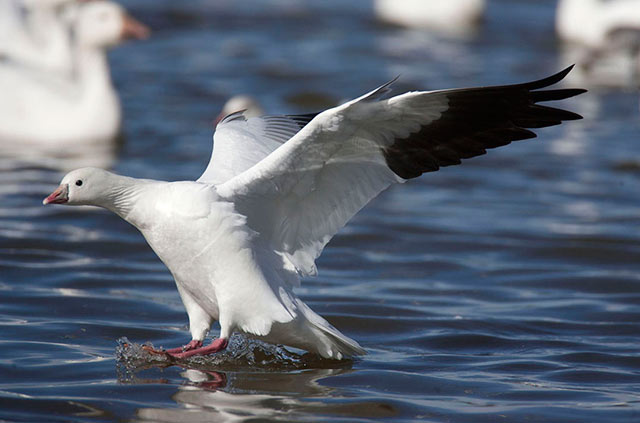 Snow Goose with wings out as it lands on the water by Andy Long.