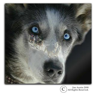 smiling siberian sled dogs how the new yorker magazine went to the