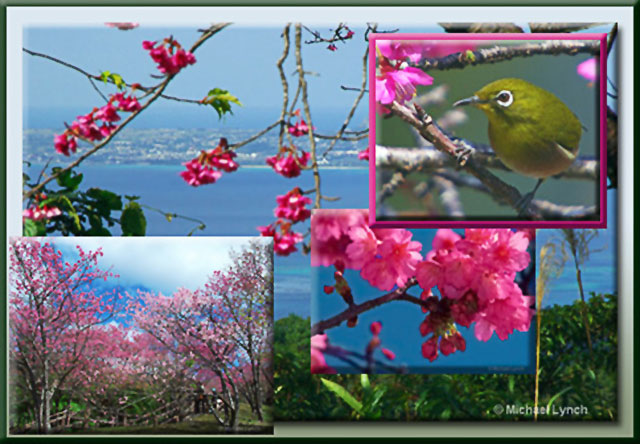 Photo collage of Ie Shima island, Sakura trees and Japenese White Eye bird by Michael Lynch.