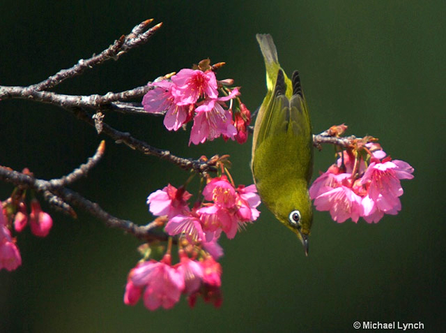 Image of green Japanese White Eye bird in pink Cherry Blossoms by Michael Lynch.