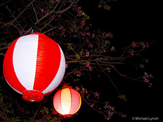 Image of red and white paper lanterns hanging from cherry blossom trees by Michael Lynch.