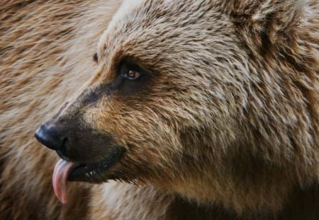 Photo of grizzly bear by Karen Pleasant