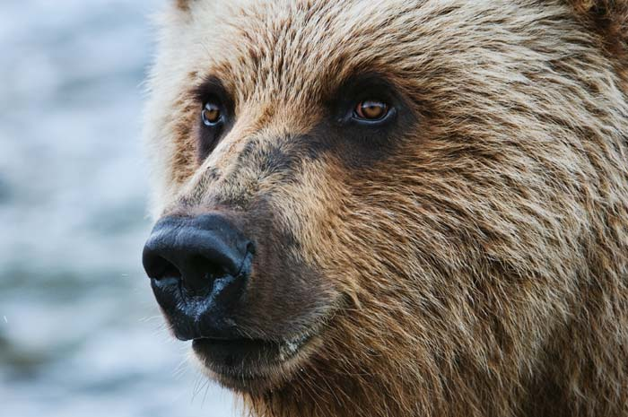 Close-up photo of grizzly bear head by Karen Pleasant