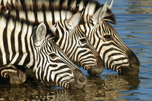 Photo of Zebras, Etosha National Park, Namibia by Michael Poliza